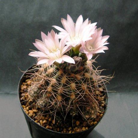 Sany0124--buchii lafaldense--LB 1095--Bercht seed