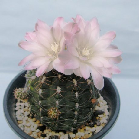 Sany0104--andreae v matznetteri--WR567A--Bercht seed