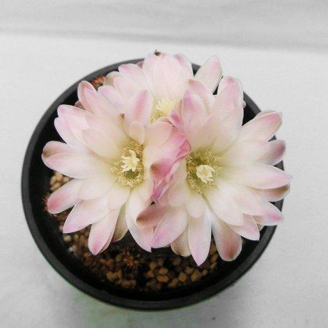 Sany0105--andreae v matznetteri--WR567A--Bercht seed