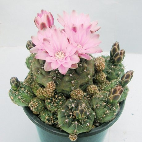 Sany0168--bruchii v brigittae--P 214--Mesa seed 458.3