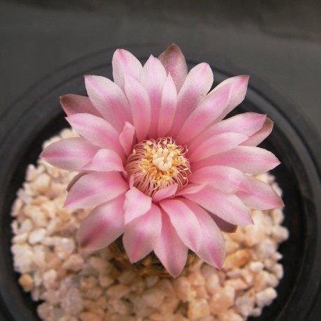 Sany0183--bruchii ssp pawlovskyi--RH 2939A--ex Eden 18578