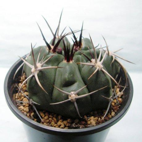 Sany0132--kurtzianum--Sierra de orro--Piltz seed 2619