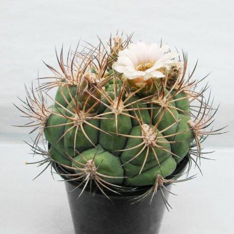 Sany0166--saglione v albispinum--piltz seed 3812