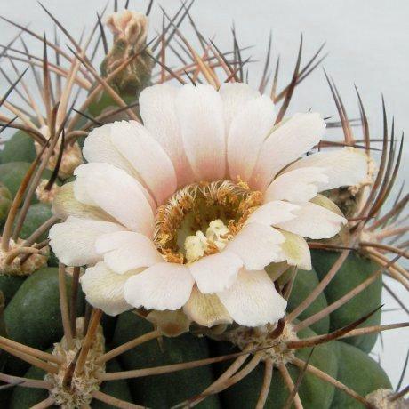 Sany0168--saglione v albispinum--piltz seed