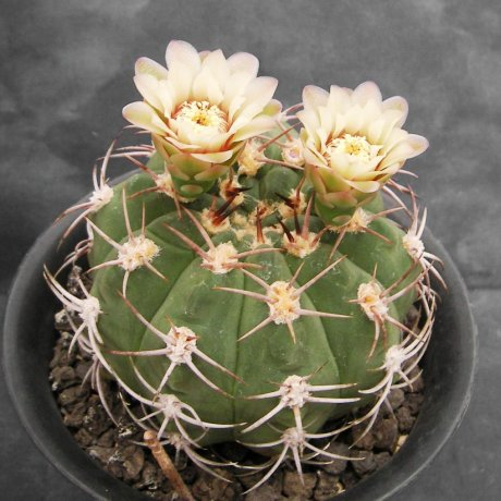 Sany0165-nigriareolatum.v.simoi-P39--Sa. Graciana Catamarca--Piltz.seed 4207