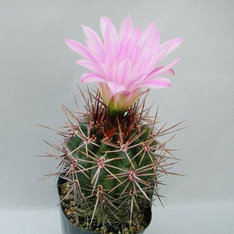 Sany0100--horrdispinum--L 517--piltz seed 3474--