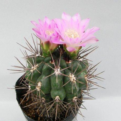 Sany0175--horridispinum--Mesa seed 468.7