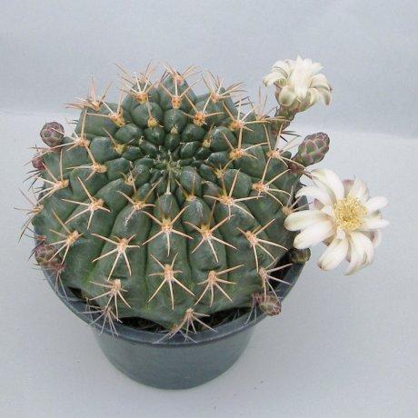 Sany0214--hamatum--FR 819--Koehres seed