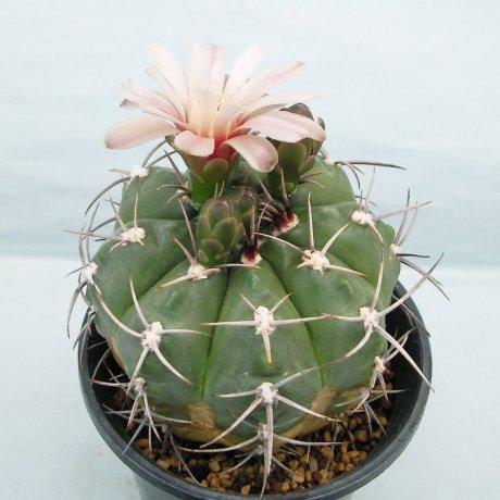 Sany0082--mostii v kurtzianum--P 84--La Falda Cordoba--Succseed seed