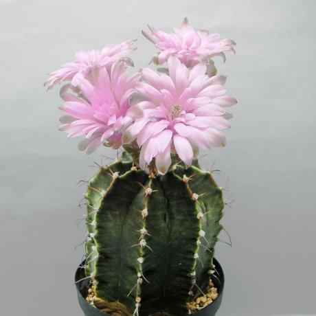 Sany0064--mihanovichii piraretaense--Rowland seed