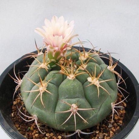 Sany0128--izozogsii--Bercht seed