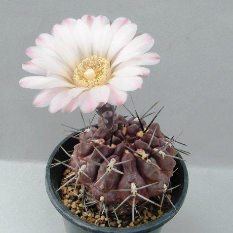 Sany0011--chubutense--WP 40-50A--Piltz seed 3416