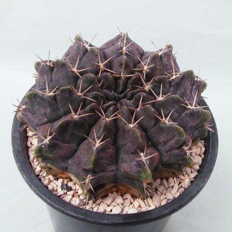 Sany0052c--rotundicarpum--Piltz seed 3293