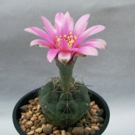 Sany0147--heidiae--GN 468--Bercht seed 1674(2008)