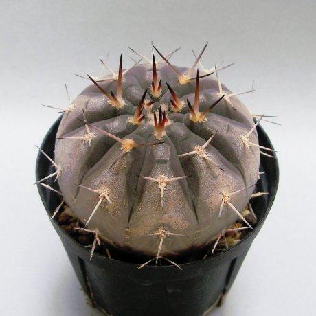 Sany0004--riojense ssp guasayanense--KP 258--CCB seed CB-012080