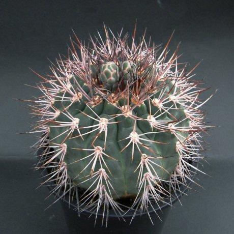 Sany0171--castellanosii v armillatum--P 217--Ulapes LR 500m--ex Eden 12714