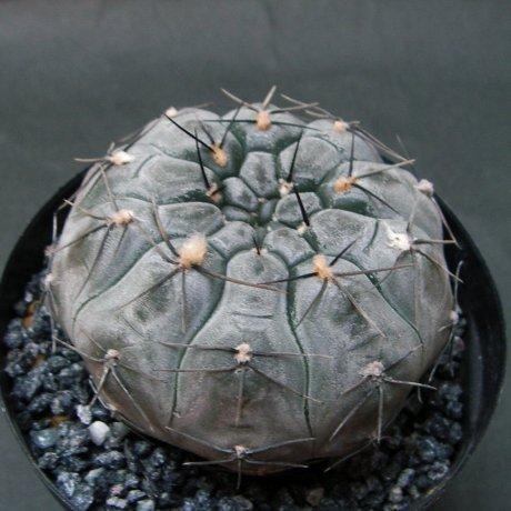 Sany0049--berchtii--VS 161-Koehres seed