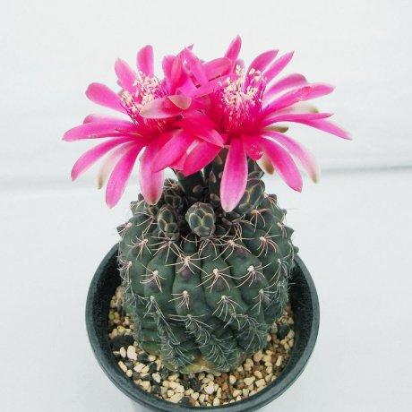 Sany0116--baldianum--P 127--Sierra Ancasti, 900 m--Mesa seed 457.13--tutiya