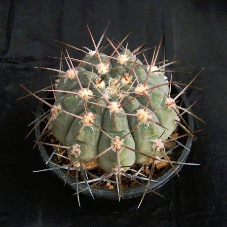 Sany0035-G. glaucum-P 36A--Salicas, Catamarca 1000m--Piltz seed