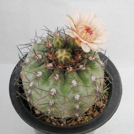 Sany0045--glaucum--mesa seed 468.3