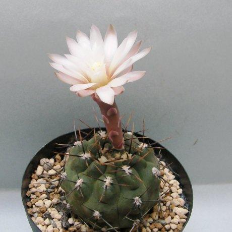 Sany0101--borthii ssp kokori--JPR 89-204--Zanjitas SL--Eden 16149