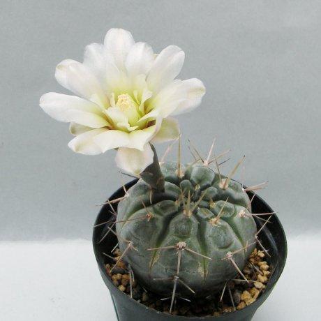 Sany0216--borthii ssp nogolense--Tom 07-219-1--ex Milena