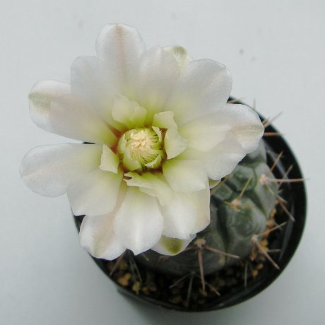Sany0218--borthii ssp nogolense--Tom 07-219-1--ex Milena