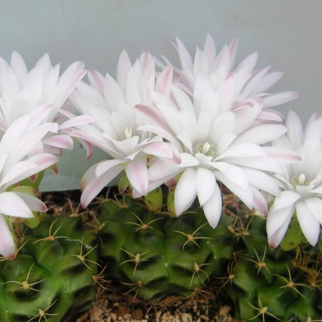 Sany0147--damsii ssp evae v centrispinum--VoS 45--ex Shimada
