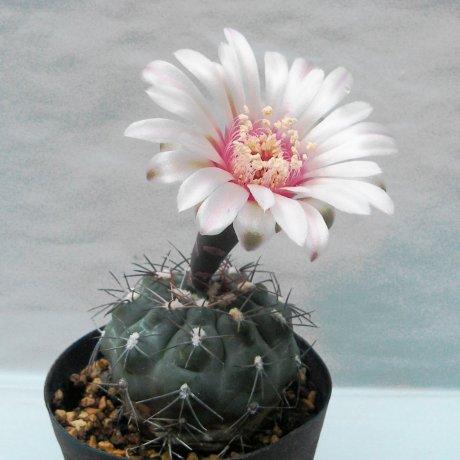 Sany0042--alboareolatum--LB 1296--South of Villa Sanagasta, La Rioja, 1010m --Piltz seed 3164