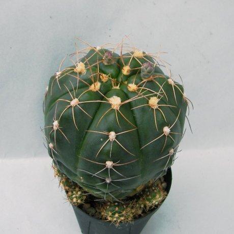 Sany0118--fleischerianum--LB 021--Eden 15475