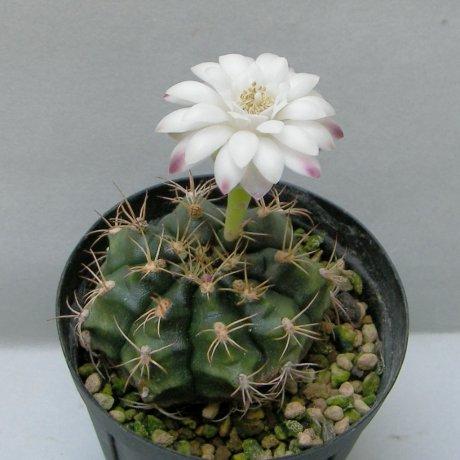 Sany0180--damsii ssp evae v rotundulum--LB 363--Robore Bolivia 550m--ex Eden 16804
