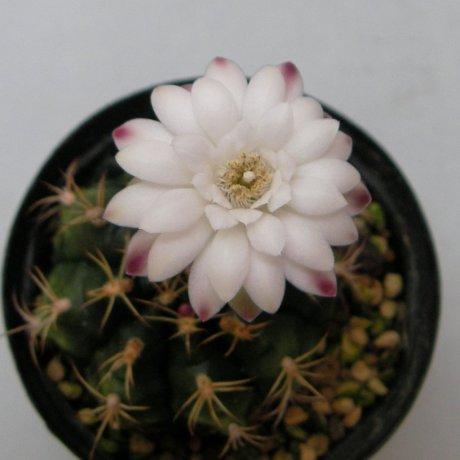 Sany0181-damsii ssp evae v rotundulum--LB 363--Eden 16804