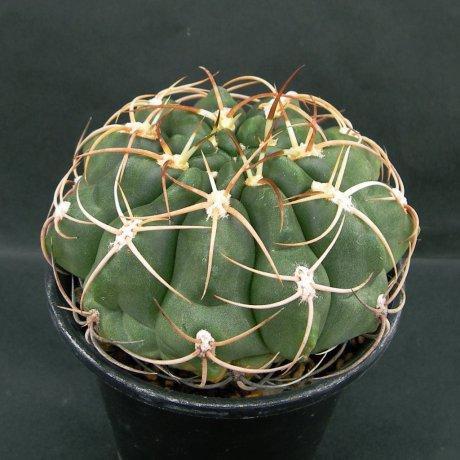 Sany0062--schuetzianum--FR 430--Koehres seed