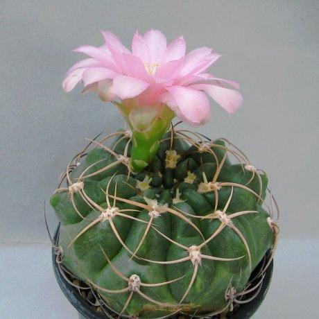 Sany0093---schuetzianum--FR 430--Koehres seed