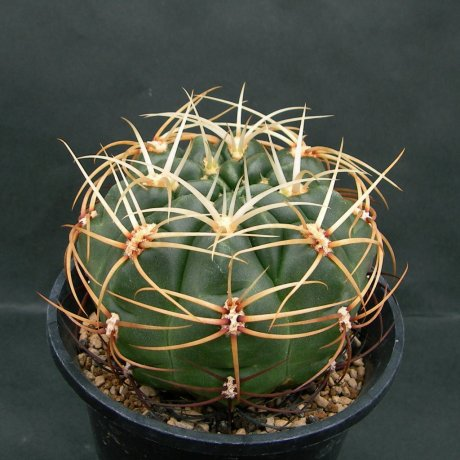 Sany0029--monvillei v coloratum--HV 361--Bercht seed 1815 (2007)