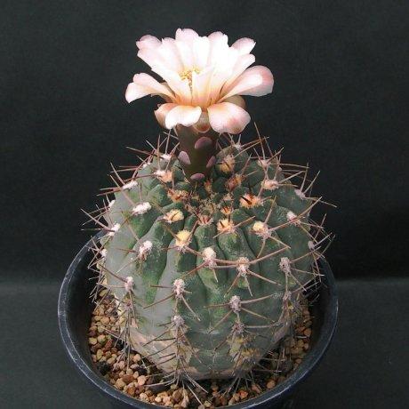 Sany0192-mucidum v ferrarii--Santa Teresita, vom Typstandort--Piltz seed 3543