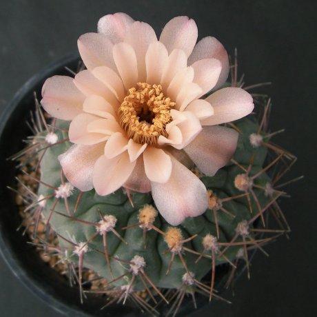 Sany0195--mucidum v ferrarii--Piltz seed 3543