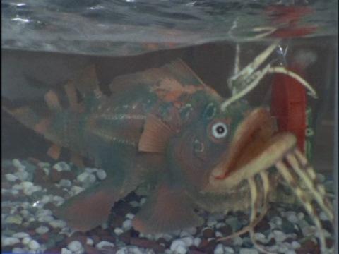 巨大怪魚 アンゴーラス(子)