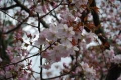 ★平野神社2014 054
