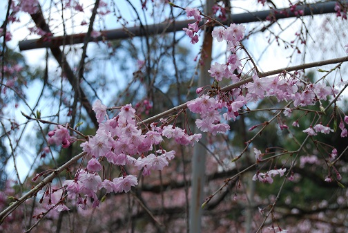 ★平野神社2014 048