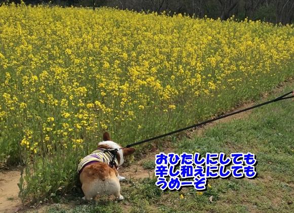 菜の花レシピ