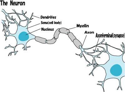 神経細胞(英語)