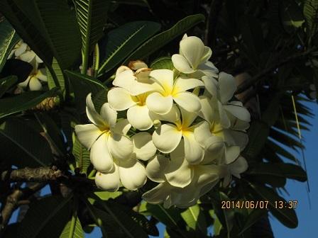 プルメリア(代表的な花)