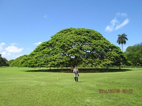 ヒタチの木