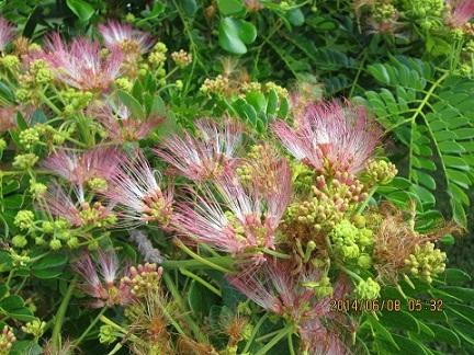ヒタチの木の花