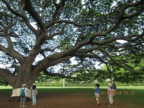 ヒタチの木の下