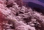 1.桜-16P 89q