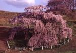 2.三春の花-11P q