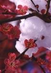 7.梅と雪-01Pt