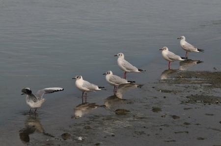 black-headed-gulls